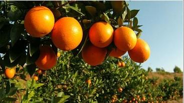乐山雷波脐橙——供应成都超值的雷波脐橙