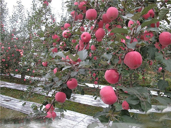 反光膜专卖-亿诺包装材料公司供应同行中有品质的苹果反光膜