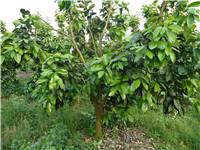 推广红肉蜜柚种植管理