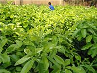 蜜柚种苗供应、福建、浙江、广东、广西、湖南、海南、四川、贵州