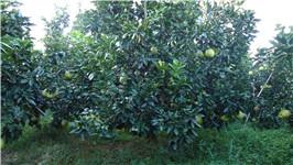 主营新品种琯溪红皮红肉蜜柚种苗