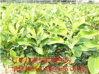品质有保证红中红蜜柚种苗供应商
