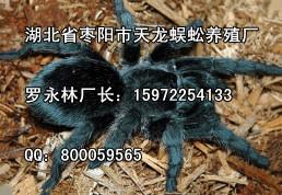 高品质蜘蛛在哪里有供应_蜘蛛的药用价值与功效供应