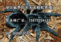 蜘蛛养殖厂家推荐_好的蜘蛛天龙蜈蚣养殖厂供应