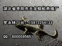 壁虎代理 供应南京优惠的壁虎养殖