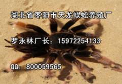 蜘蛛养殖哪家好|名声好的蜘蛛供应商推荐