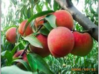 山东鲜桃-潍坊地区哪里有卖优质鲜桃