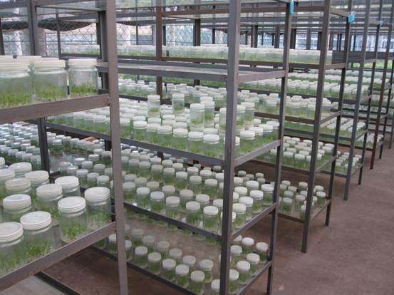 微绿生物科技公司供应价位合理的桉树组培苗:东山桉树组培苗