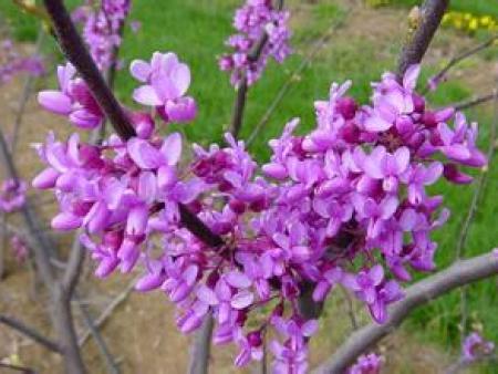 紫荆种植基地