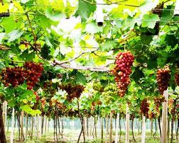 葡萄专用膜,EVA农膜