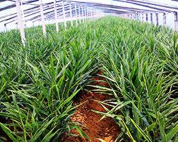 大姜专用农膜