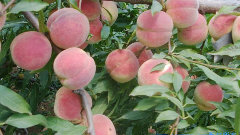 河北映霜红桃苗,高质量的映霜红桃苗出售