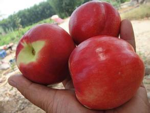 青州鲁星一号桃苗-诚信果树苗木出售划算的鲁星一号桃苗