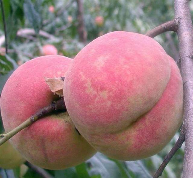 想要优良的映霜红桃树苗就来诚信果树苗木,映霜红桃树苗直销