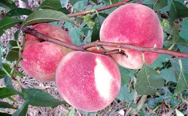 映霜红桃树苗专业供应商——红果冬青小苗价格