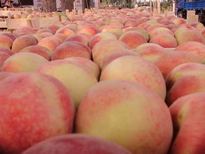 山东有品质的金秋红蜜桃苗生产基地-新疆金秋红蜜桃苗