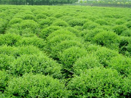 苗木种植基地告诉您如何做好国槐树苗的日常养护?