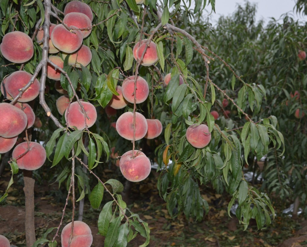 大叶蜜供应-供应山东品种好的大冻桃