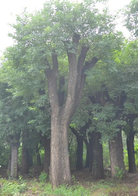 百日红苗木图片|无病虫害的绿化苗木推荐
