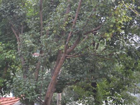 大木瓜树价格