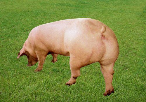 二元母猪-潍坊优良的供应_二元母猪