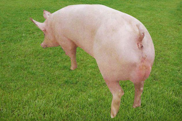 潍坊最好的大白种猪哪有卖,饲养长白种猪