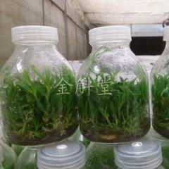 广州便宜的铁皮石斛哪里有供应,铁皮石斛供应