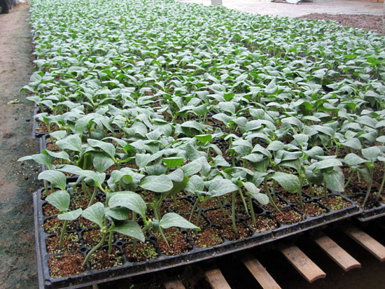 出售黃瓜育苗基質-哪里能買到劃算的黃瓜育苗基質