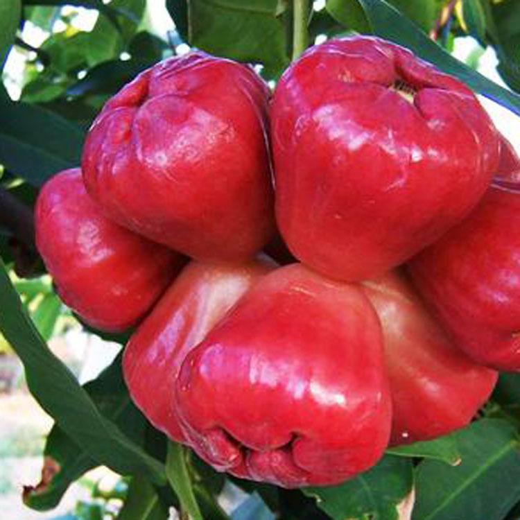广西省莲雾果 台湾高级农艺师栽培出的莲雾果