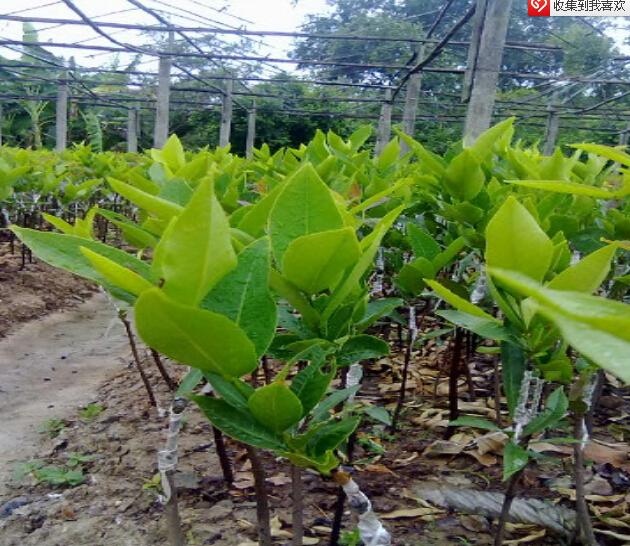 天红一号莲雾果苗,台湾莲雾优质品种