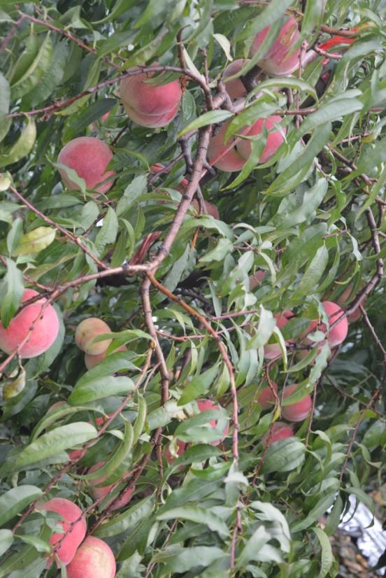 映霜红桃树苗报价-想要选购映霜红桃苗就来三八红旗园艺