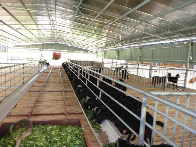 廣西黑山羊養殖技術  正規大型黑山羊養殖場
