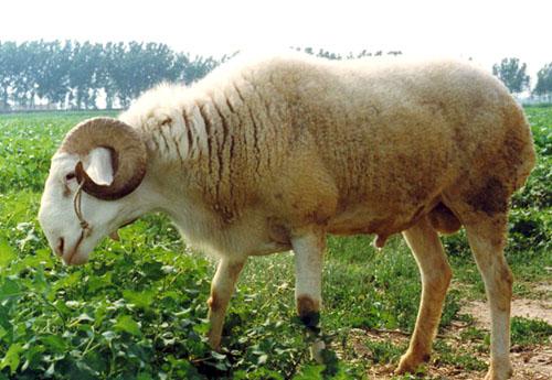 小尾寒羊养殖基地