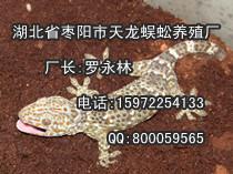 物超所值蛤蚧养殖厂,蛤蚧养殖厂代理
