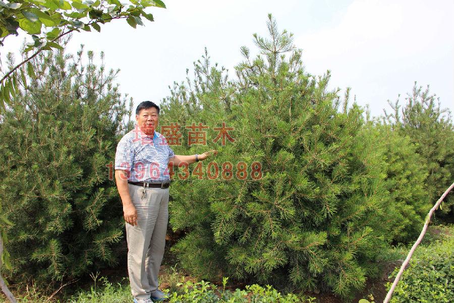 山东卫矛球培育基地,易成活的苗木出售