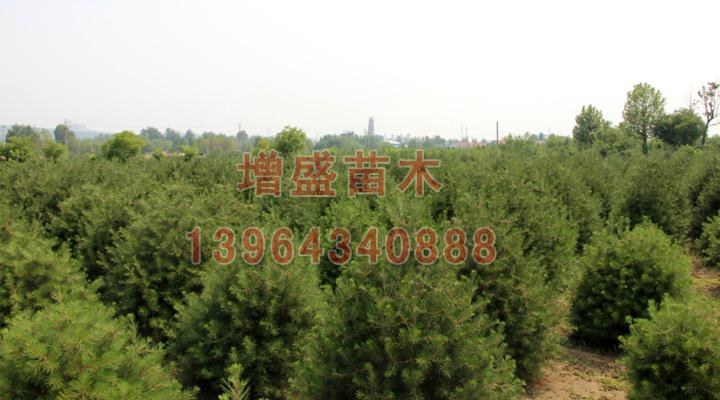 天津卫矛球行情 想要易成活的苗木就来增盛苗木