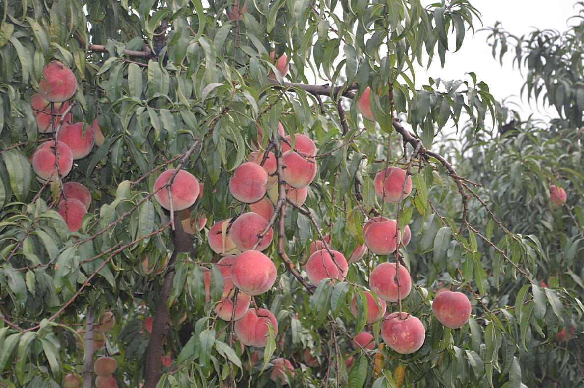 映霜红桃树苗报价_哪里能买到划算的映霜红桃树