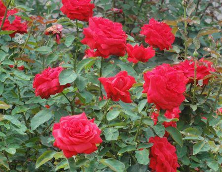 月季批发-永胜花卉出售实用的月季