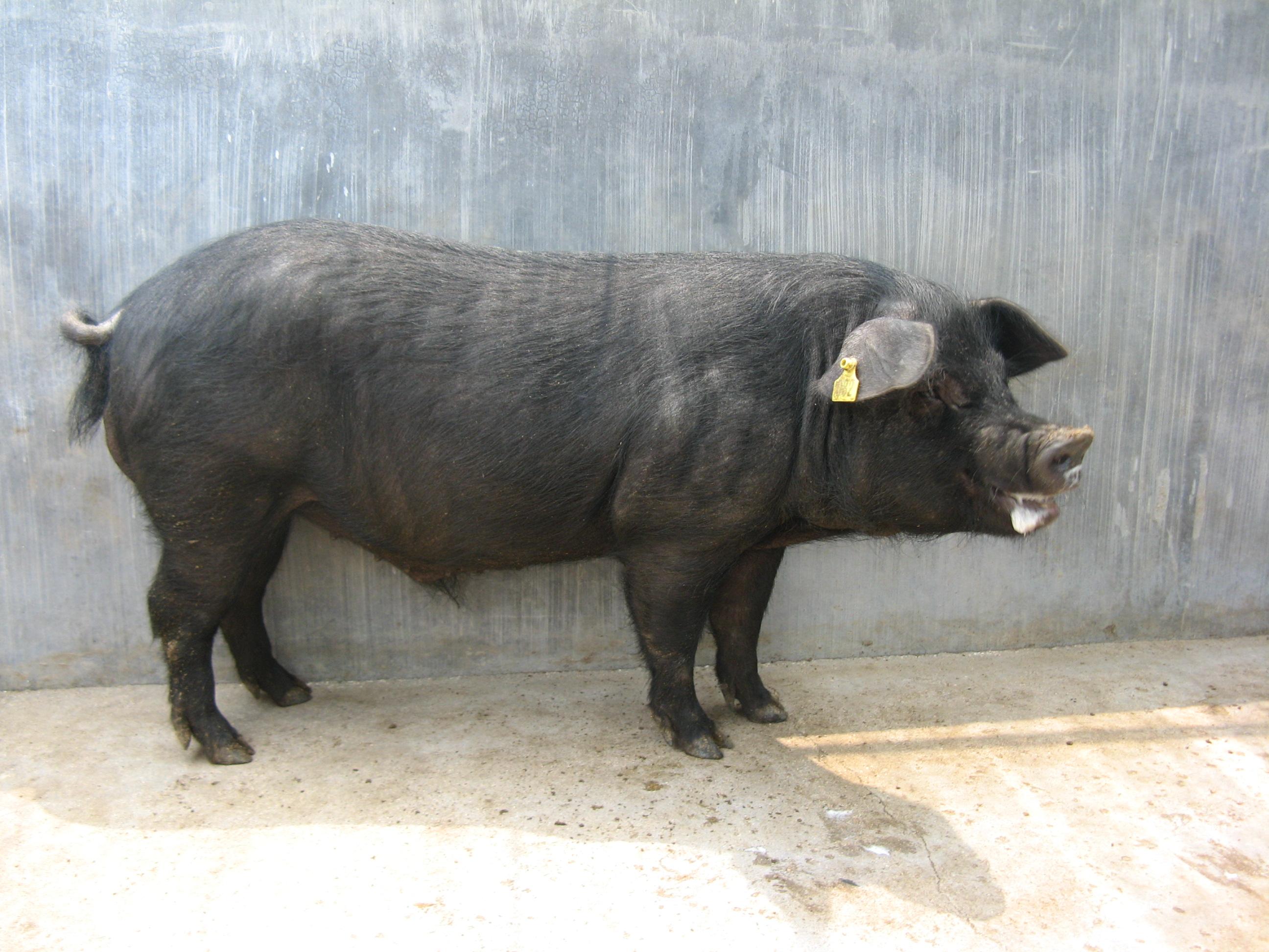 散养猪批发采购