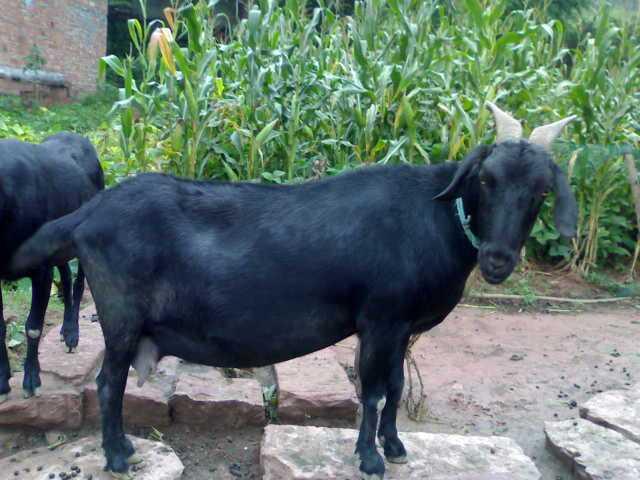 南宁黑山羊种羊价格 黑山羊采购批发
