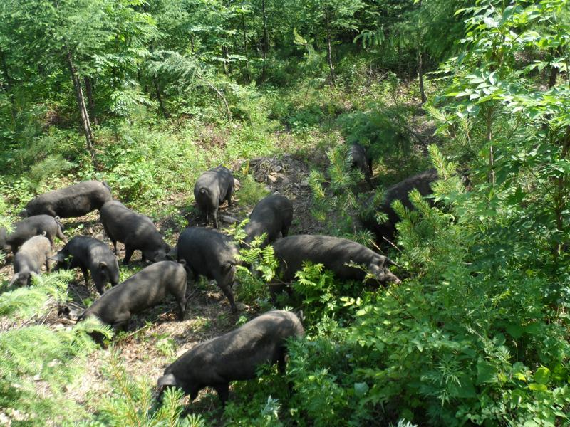 临朐黑猪仔-潍坊口碑好的黑猪供应商