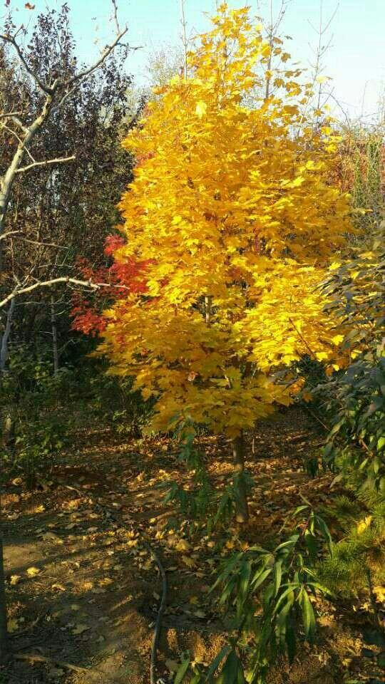 黄金枫、狄波拉、红点、锦叶栾、火焰卫矛、欧洲白桦