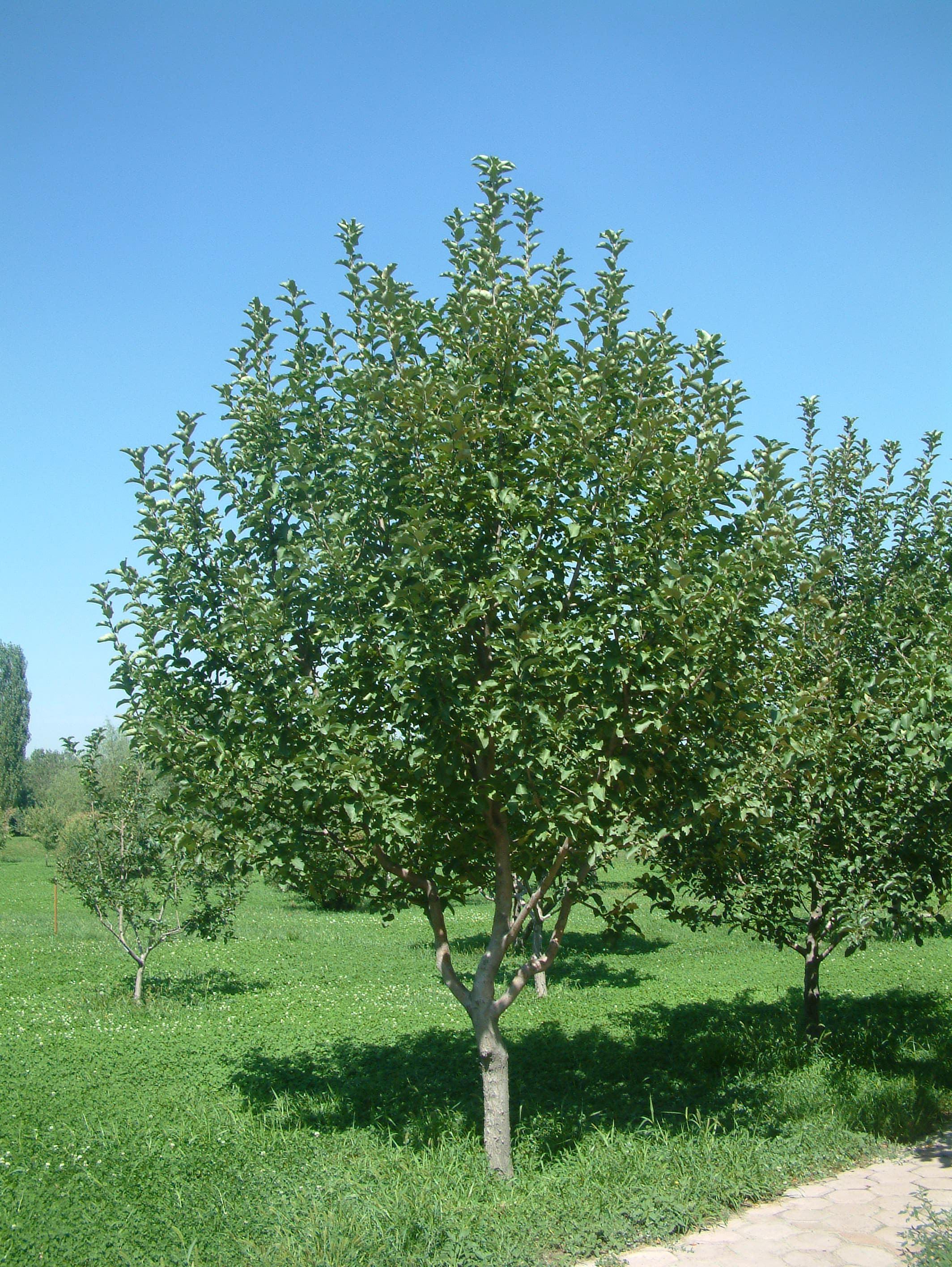 高纯度园林绿化果树出售,园林绿化果树