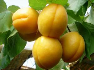 新鲜甜杏多少钱一斤