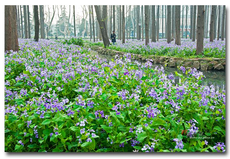 为您推荐具有口碑的二月兰花卉种子  漯河二月兰花种