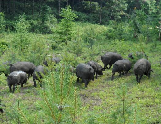 黑猪养殖基地专供优质黑猪苗