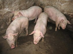 太湖猪价格范围,要买口碑好的太湖猪,森澳养殖是不二选择