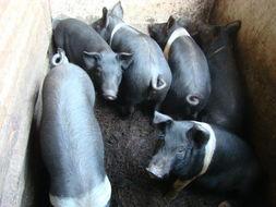 猪种供货厂家,物超所值的猪种在哪里有供应
