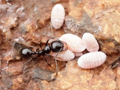 海南黑蚂蚁防治