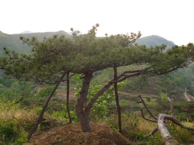 莱芜云亭专业供应造型油松-油松报价